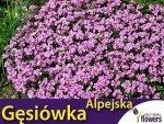 Gęsiówka alpejska różowa (Arabis alpina) 0,3g