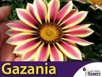 Gazania Big Kiss White Flame Gazania hybrida nasiona