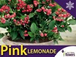 Borówka Różowa Pink Lemonade Sadzonka RARYTAS