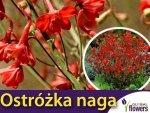 Ostróżka naga, pomarańczowo-czerwona (Delphinium nudicaule) 0,1g Nasiona