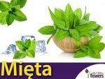 Mięta długolistna (Mentha longifolia) 0,1g