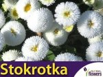 Stokrotka pospolita Pomponette biała (Bellis perennis) nasiona 0,1g