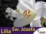Lilia candidum 'Św. Józefa' (lilium candidum) CEBULKA