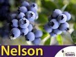 Borówka Amerykańska Sadzonka 3 - 4 letnia- odmiana Nelson