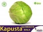 Kapusta głowiasta biała Sława z Gołębiewa (Brassica pleracea)