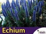 Żmijowiec Szmaragdowy (Echium candicans) nasiona
