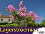 Lagerstroemia Magnifica Rosea (Lagerstroemia indica) Krzew który kwitnie 120 dni Sadzonka