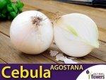 Cebula biała Agostana (Allium cempa) XL 100g