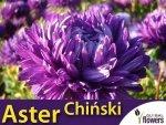 Aster chiński peoniowy - fioletowy (Callistephus chinensis)