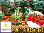 Pomidor Cherry MASKOTKA Koktajlowy (Lycopersicon Esculentum) nasiona 0,5g