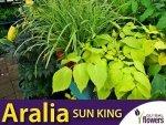 Aralia Sercowa Król słońca (Cordata Sun King) Świeci w nocy