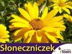 Słoneczniczek, Heliopsis (Heliopsis scabra) 0,5 g Nasiona