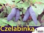 Jagoda Kamczacka CZELABINKA Sadzonka 3 letnia 50-80cm