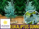 Eukaliptus Niebieski (Eukaliptus Gunni) Sadzonka C1