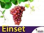 Winorośl 'Einset' - odmiana bezpestkowa (Vitis) Sadzonka C1,5