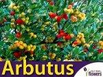Drzewko truskawkowe (Arbutus Unedo) Sadzonka C1
