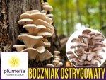 Boczniak ostrygowaty grzybnia na kołkach