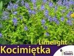 Kocimiętka ' Limelight' (Nepeta faassenii) Sadzonka
