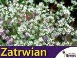 Zatrwian tatarski biały 'Statice' (Limonium tataricum) 0,1 g Nasiona