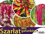 Szarłat, mieszanka gatunków (Amaranthus) 0,5g LUX