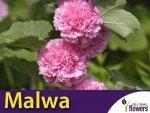 Malwa pełna (Alcea rosea) Bright Pink KŁĄCZA