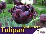 Tulipan pełny późny 'Black Hero' (Tulipa) CEBULKI