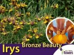 Irys Holenderski Bronze Beauty (IrisIris hollandica Bronze Beauty) CEBULKI