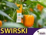SWIRSKI Ulti-Mite na wciornastki i mączliki do roślin domowych i wszelkich upraw 1 szt