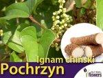 Pochrzyn, Ignam chiński (Dioscorea batatus) Sadzonka