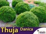 Żywotnik zachodni 'Danica' (Thuja occidentalis) Sadzonka