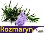 Rozmaryn (Rosmarinus offcinalis) 0,1g Nasiona