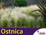 Ostnica mocna 'Pony Tails' zielona (Stipa tenuissima) sadzonka