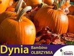 Dynia olbrzymia Bambino (Cucurbita maxima) 3g+1g