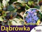 Dąbrówka rozłogowa 'Rainbow' (Ajuga reptans) Sadzonka