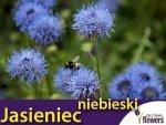 Jasieniec niebieski (Jasione laevis) 0,1g Nasiona