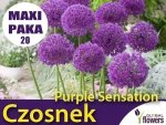 MAXI PAKA 20 szt Czosnek Purple Sensation  (Allium sensation) CEBULKA