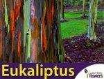 Eukaliptus tęczowy (Eukaliptus deglupta) nasiona