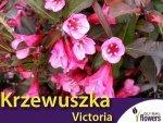 Krzewuszka 'Victoria' (Weigela 'Victoria') Sadzonka