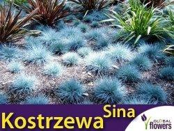 Niebieska Trawa - Kostrzewa Sina (Festuca glauca) Sadzonka