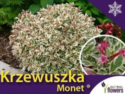 Krzewuszka cudowna miniaturowa 'Monet ®' (Weigela florida) Sadzonka C2