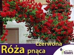 Róża pnąca 'czerwona' (Rosa) Sadzonka w balocie