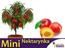 DRZEWKO OWOCOWE Mini Nektarynka  (prunus persica var. n.) Sadzonka C6