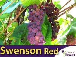 Winorośl SWENSON RED (Vitis) Sadzonka 3 letnia 60-80cm
