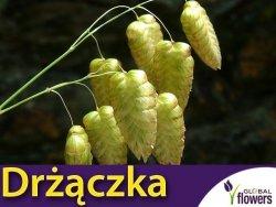 Drżączka olbrzymia słomkowo - żółta (Briza maxima) nasiona 1g