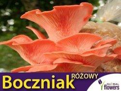 Boczniak różowy grzybnia na kołkach 20 sztuk. Działanie lecznicze
