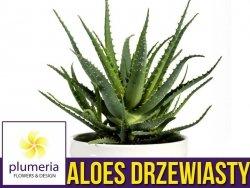 Aloes leczniczy DRZEWIASTY (Aloe arborescens) Roślina domowa. Sadzonka P12 - M