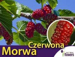 Morwa Czerwona (Morus rubra) Sadzonka