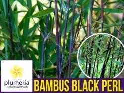Bambus Mrozoodporny Fargesia BLACK PEARL fioletowo-czarny (Fargesia nitida) Sadzonka XL-C5
