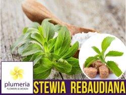 Stewia - Naturalny słodzik Stevia (Stevia rebaudiana) Sadzonka C1