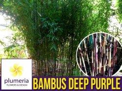 Czerwony Bambus Mrozoodporny DEEP PURPLE (Fargesia Jiuzhaigou) Sadzonka C2,5